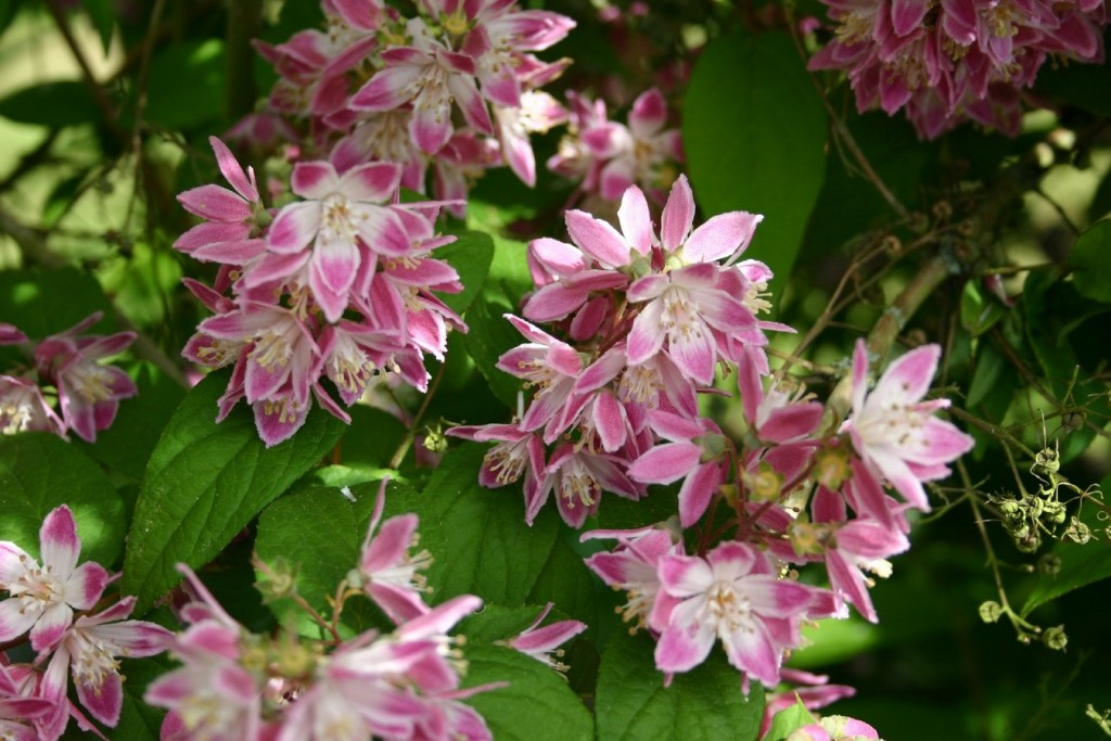 Deutzia x hybrida 'Perle Rose' (1) (Copier)