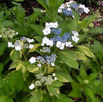 hydrangea-serrata-grayswood-variegated-294-117[1]
