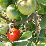 Les tomates arrivent